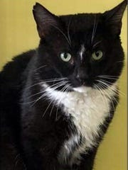 Boy is a handsome, adult, neutered-male tuxedo He is