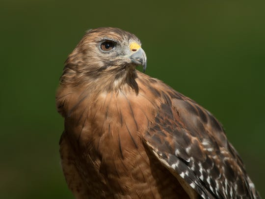 Rudy, a red-shouldered hawk.