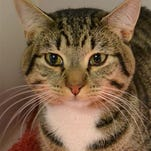 Scooter Boy, brown tabby, white trim, large, neutered, 2, friendly, good disposition, at shelter or PetCo on Youree, call to check, seeks indoors only, loving, forever home.
