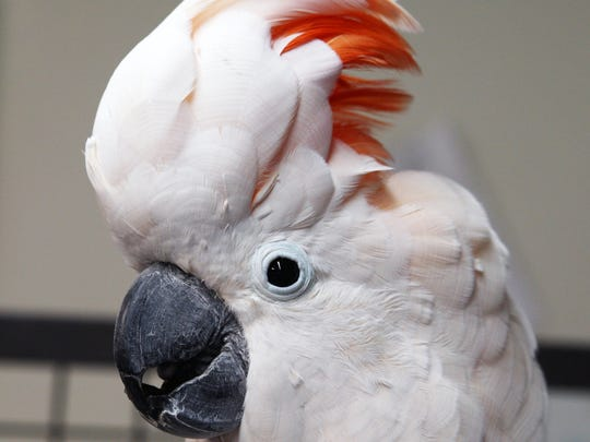 Sydeny is a Moluccan or Salmon-Crested Cockatoo at the Monterey Zoo