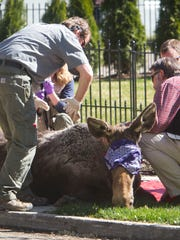 A moose is tranquilized at Elm Grove Park on Thursday
