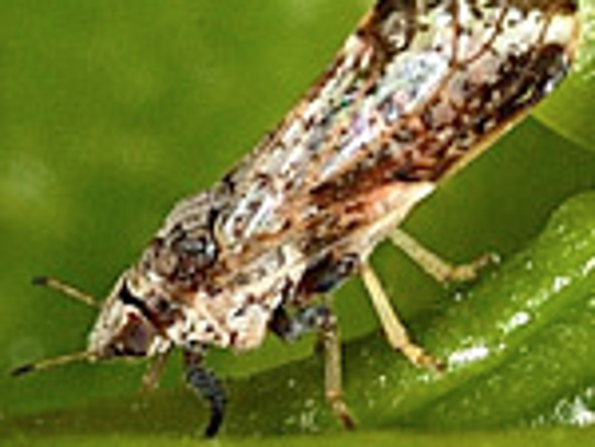 The Asian citrus psyllid has taken over the state,