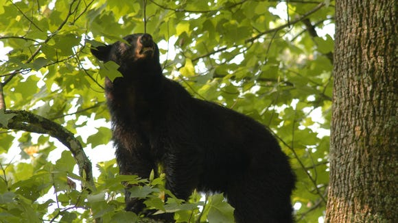 Black bears are becoming active around Western North Carolina.