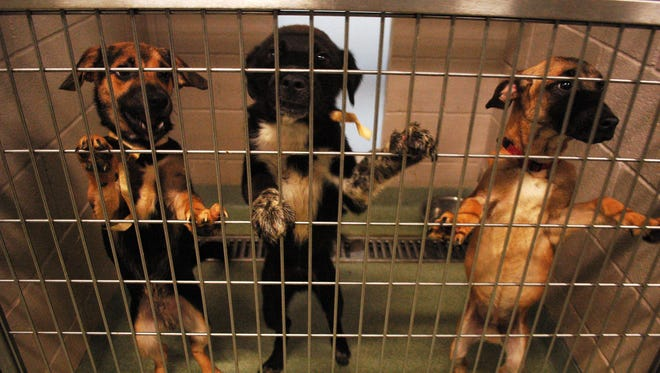 These are three of 39 dogs seized from RRR Service Dogs in Cottontown Thursday, May 5, 2014. Facility owner Nicole Hulbig, was charged with 12 counts of animal cruelty there and four counts in Montgomery County.Montgomery County Animal Control and eight counts of animal cruelty in Sumner County. The dogs are at the Sumner County Animal Control.