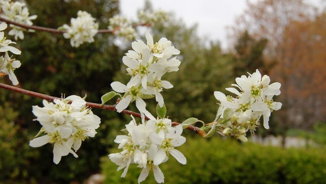 Serviceberry offers clusters of white flowers in early spring.
