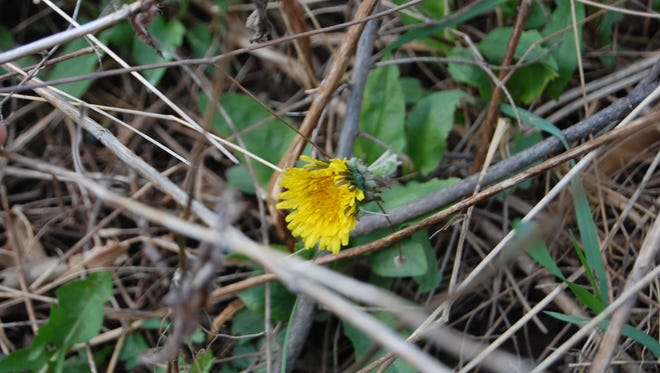 The simplicity of a growing dandelion is a wonderful symbol of Mother Nature's greatness.