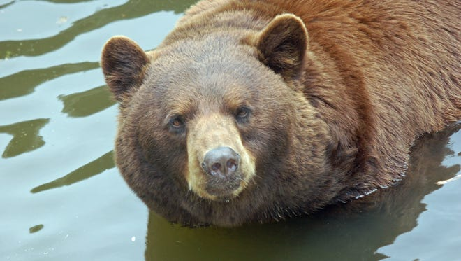 A black bear in its cinnamon phase stays cool during the summer heat.