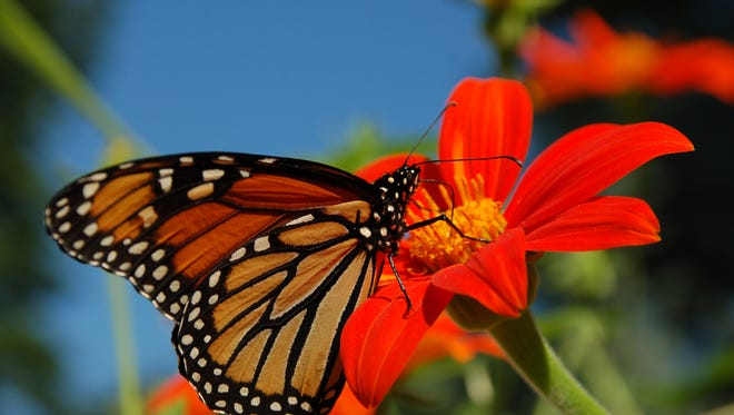 A monarch butterfly feeds on a flower.