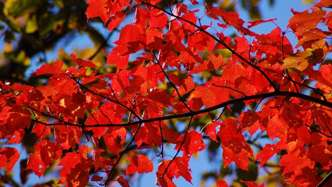 Fewer leaves will show their brilliant colors during this fall.