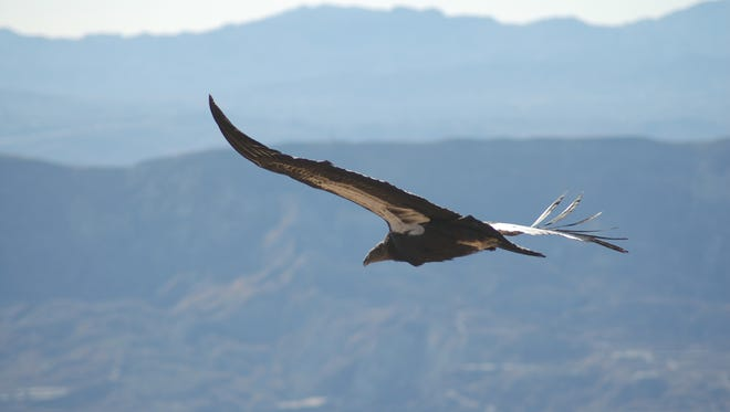 A California condor soars above Los Padres National Forest.