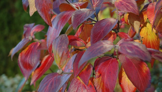 Viburnum Carlesii turns dull red in fall, but sometimes display attractive shades of wine-red to burgundy.