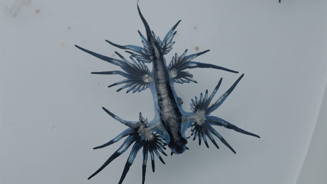 Blue dragon sea slugs eat Portguese man o'wars and absorb their venom to use in their own tentacle-like appendages.