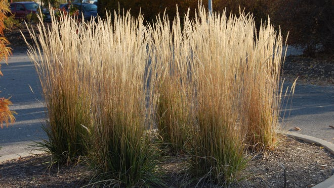 Feather Reed Grass is one of the most useful ornamental grasses for summer and winter impact and a better selection than invasive species such as commonly sold Maiden Hair Grass.