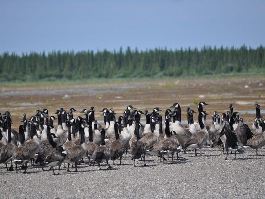 Canada geese stand in a flock near James Bay, Ontario.