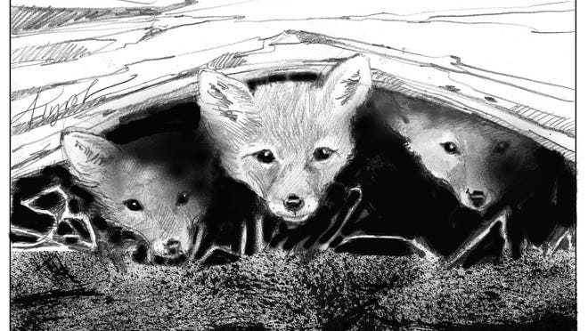 Foxes peer out of their den.