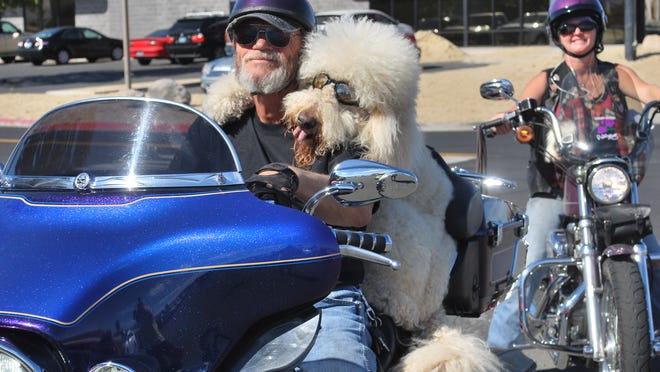 At top, Moki the golden doodle rides on the back of a Harley-Davidson driven by his owner, Brad Bakelar. The two have been riding together for 5 years. Brad and Marti Bakelar, with Moki, top, and Micki, above, have achieved Internet fame for Moki's motorcycle-riding skills.