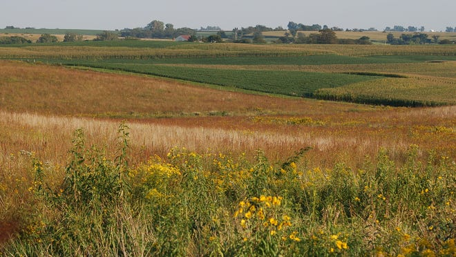 Native prairie strips are used to reduce the nutrients leaving a field near the Neal Smith National Wildlife Refuge.