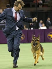 Rumor, a German shepherd, is shown in the ring during the Herding group competition during the 140th Westminster Kennel Club dog show, Feb. 15, 2016, at Madison Square Garden in New York. Rumor won the best in Herding group.