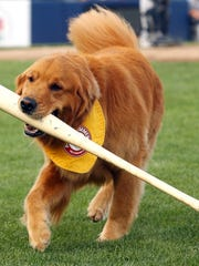 The Trenton Thunder's bat dog Rookie is part of the