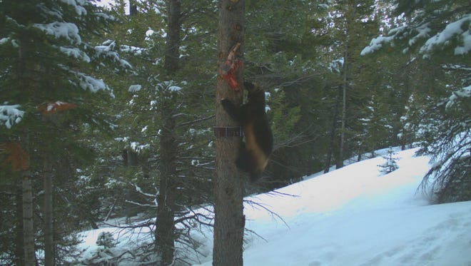 This wolverine visited a bait station on Rocky Mountain Front on April 4. Montana Fish, Wildlife and Parks says a wolverine also visited a bait station in the Little Belt Mountains.