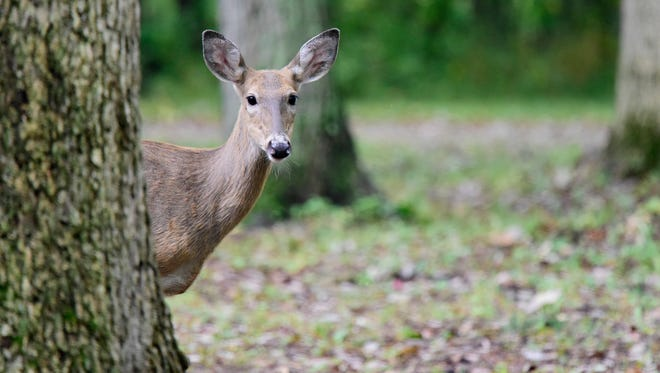 Deer versus vehicle collisions are down in some parts of Ohio due to hunters thinning the herds, but the number has remained stead in Ottawa County.