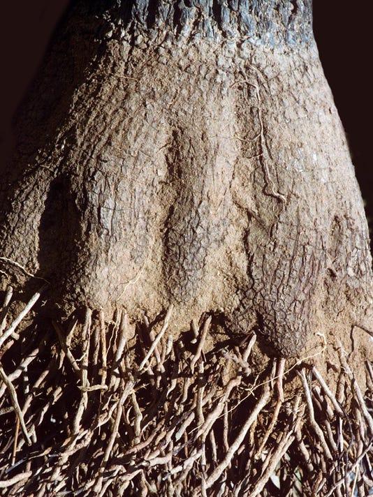 Exposed Joshua Tree Roots
