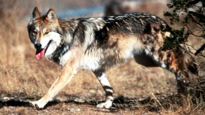 In this undated photo provided by the U.S. Fish and Wildlife Service, a Mexican gray wolf leaves cover at the Sevilleta National Wildlife Refuge, Socorro County, N.M. The Interior Department will ask a Denver-based court on Wednesday, Jan. 18, 2017, to overturn a preliminary injunction that bars the department from releasing more Mexican gray wolves into the wild in New Mexico without that state's approval.