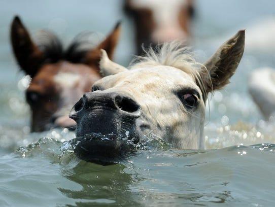Chincoteague Ponies make the 89th annual swim across