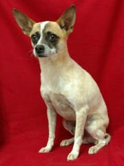 Robbie is an 11-pound, 4-year-old, Jack Russell mix dog. He gets along well with other dogs, is crate trained and walks well on his leash. The $75 adoption fee helps cover spay/neuter, vaccinations, microchip, vetting, food and care. Call Pets Without Partners at 243-6911. Go to www.petswithoutpartners.org.