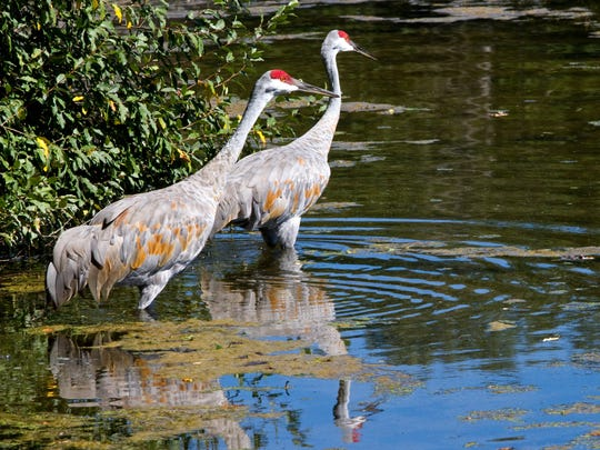 A pair of sandhill cranes at Kensington Metropark near Milford, Mich., on Sept. 14, 2010.