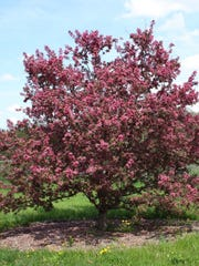 The Prairifire is one of three kinds of tree available