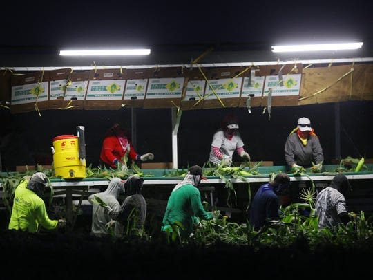 Agricultural workers work at night in Mecca during an evening in the summer of 2016. Agricultural night production lacks regulation but pending legislation may soon change soon.