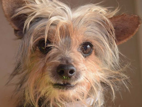 Gizmo - Male Yorkshire terrier, senior. Intake date: 11/17/2017