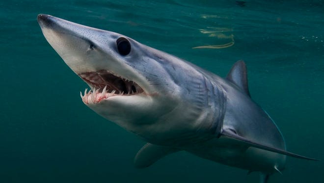 """Rhode Island: """"Through the summer and fall, blue sharks and mako sharks can be found traveling the Gulf Stream waters past the shores of New England,"""" says Joe Romeiro, a Shark Week cinematographer. """"This is one of the few locations worldwide where they can regularly be encountered."""""""