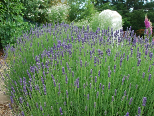 A classic culinary flower, lavender pairs nicely with