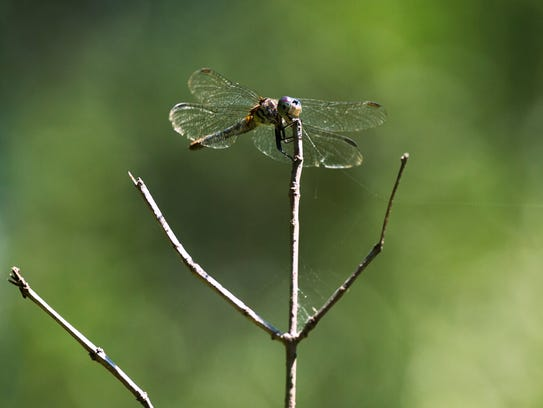 A dragonfly sits on a branch along a trail at the Binghamton