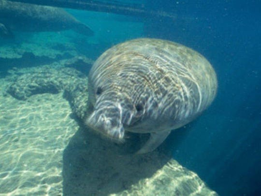 A Manatee swims in Florida waters.