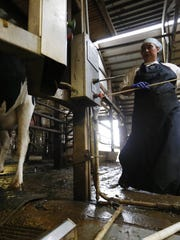 Rosalva Hernandez loads cows into milkers Aug. 22,