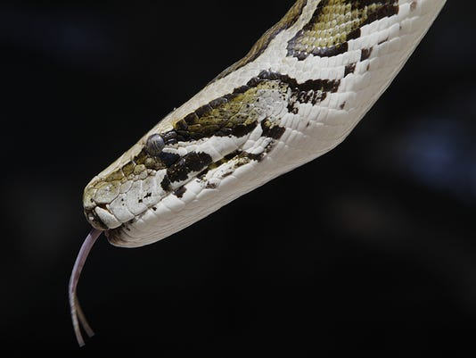 Burmese-Python.jpg