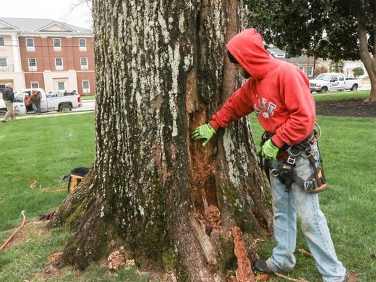 Ben Leary of ArborTech in Belton looks at a dying tree at Anderson University on Monday along Boulevard in Anderson.