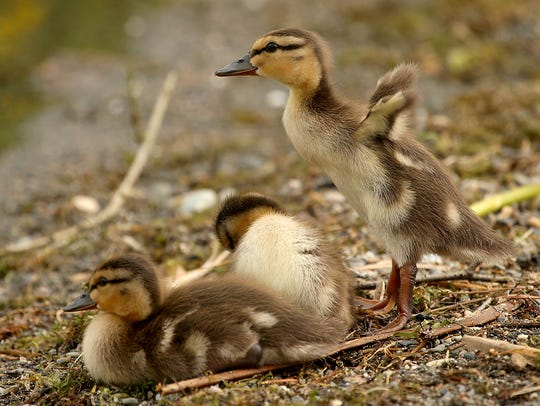 A mallard duckling stands and flaps its little wings