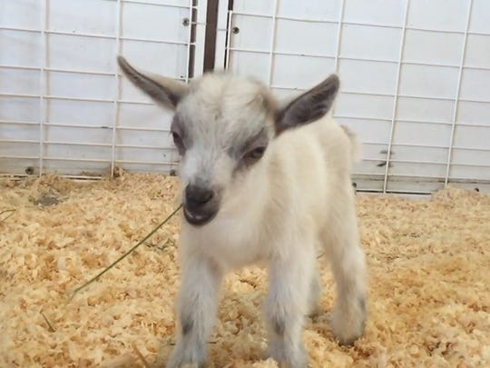 GusGus, a baby goat, is seen at the Arizona State Fair in Phoenix.