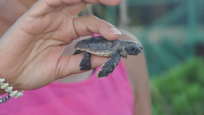 A Turtle Time volunteer holds a hatchling that was freed from a tangle of roots.