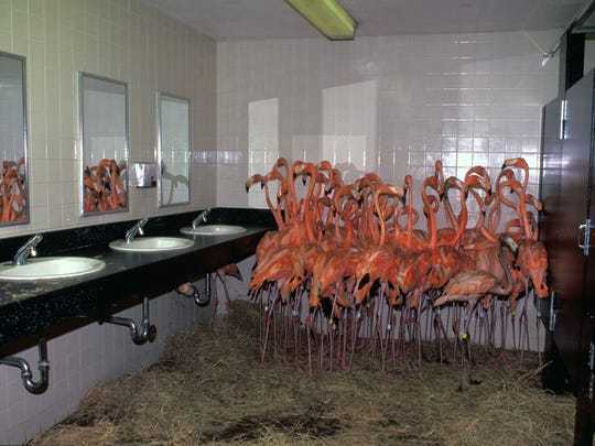 A flock of flamingos in the public men's bathroom at
