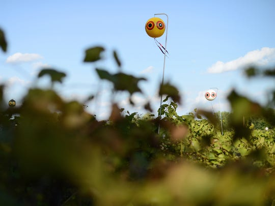 A few dozen bright balloons in multiple patterns hang over the vineyards at Trout Springs Winery on Wednesday. This is just one of several methods implemented by owner Steve DeBaker to prevent birds from eating his grapes in Greenleaf.