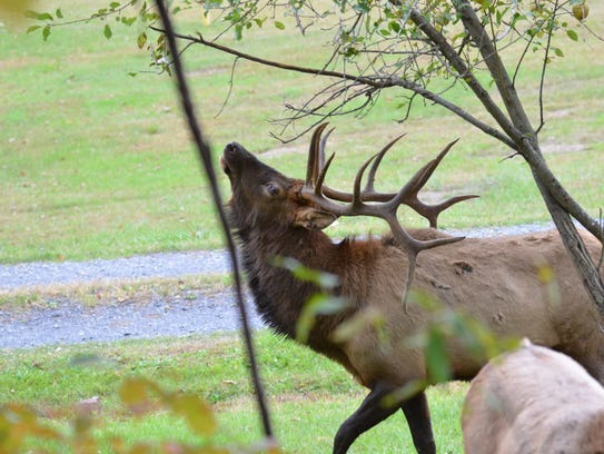 Plans to extend the elk range in Pennsylvania are in