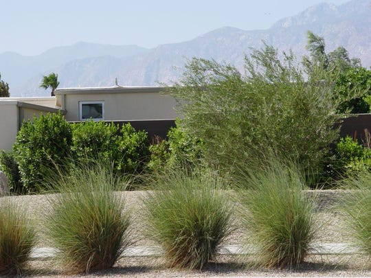 Deergrass: The uniform density of deergrass is as suited to modern as it is the natural desert garden.