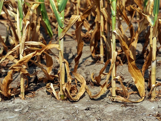 Dying corn in a field off CR 625E is struggling due