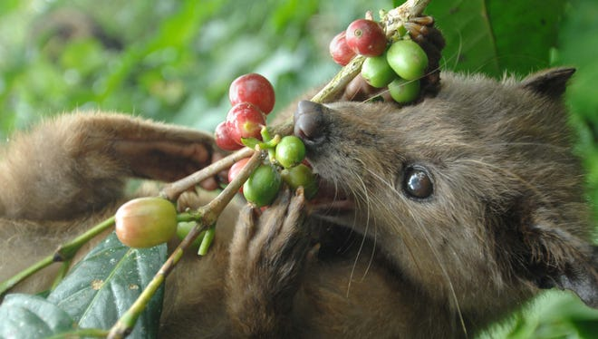 A civet nibbles on coffee fruits July 21, 2010, at a plantation producing the luwak coffee on Indonesia's Bali island.