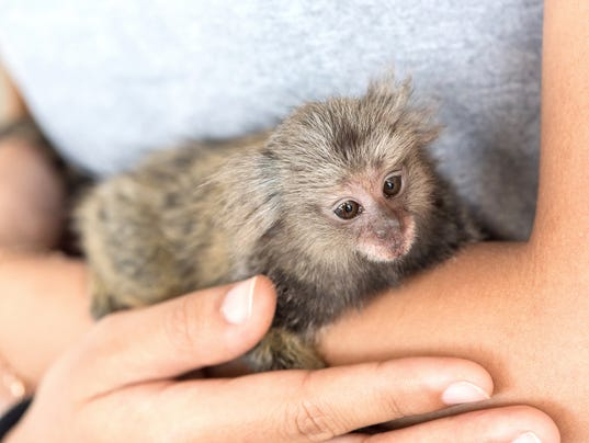 marmosets monkey on the hand.